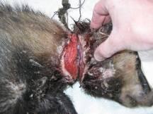 injured badger